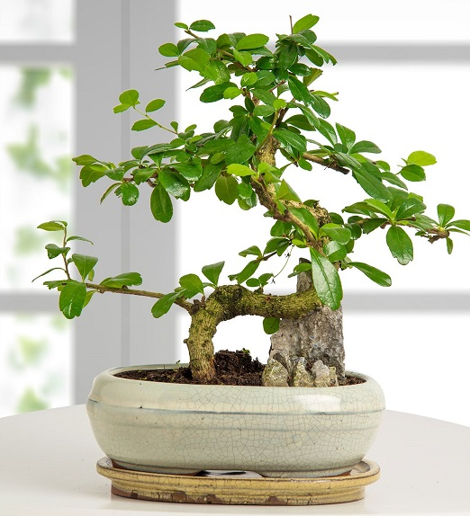 Standart Boy Bonsai